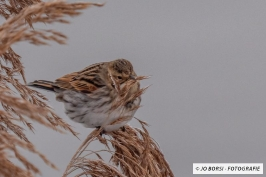 Vögel-Birkenzeisig