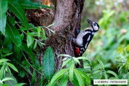 Vögel - Bundspecht
