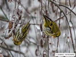 Vögel - Erlenzeisig