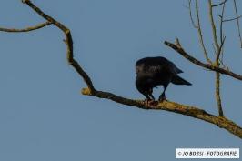 Vögel - Kohlrabe