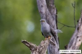 Vögel - Kuckuck