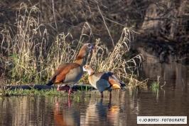 Vögel - Nilgans