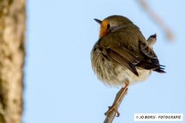 Vögel - Rotkehlchen