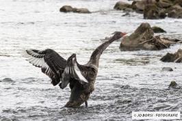 Vögel - Schwan Schwarz