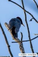 Vögel - Schwarzspecht